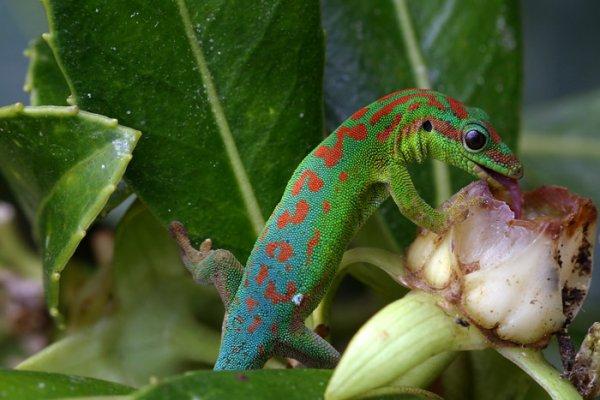 mes geckos♥