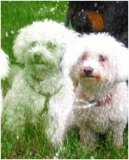 Photo de My-bichon-frises