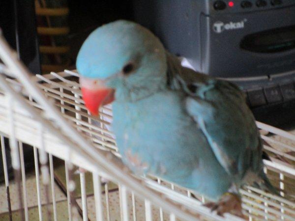 jeunes males colliers turquoises de 2016 EAM ,  tout à fait sevrés