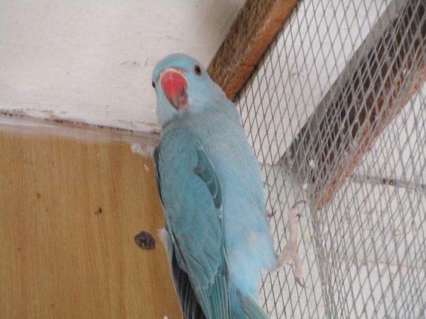 à vendre deux males perruches à colliers bleus turquoises de 2016