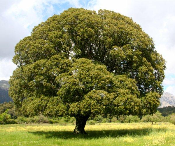 Emmi le ch ne parlant blog du rpg once upon a nightmare - Maladie du chene vert arbre ...