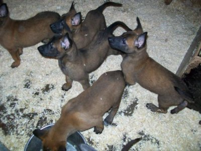 ..chiots disponible