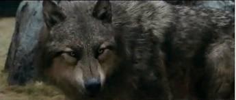 Thobias en loup