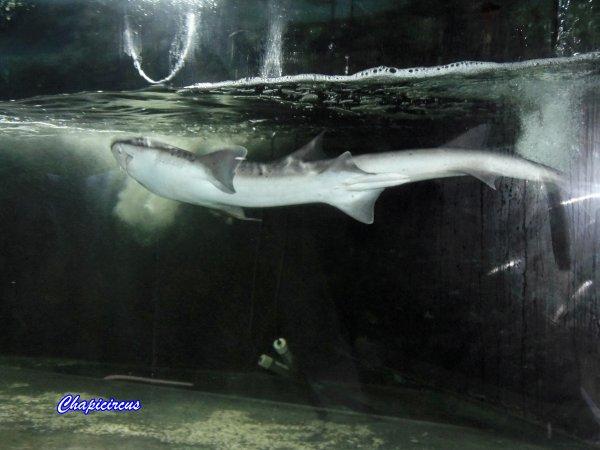 G3698 - AQUATIC SHARK A TOURS-LA RICHE.
