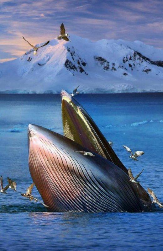 Baleine Norvégienne
