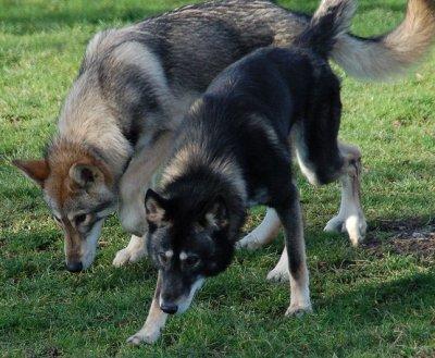 """Futur races """"Labernois"""" et Tamaskan dog"""