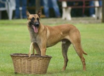 Présentations de mon top 5 des races de chiens que je préfére.