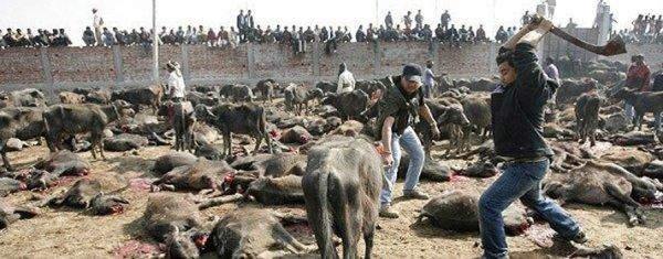 """.....BIENVENUE AU NEPAL ! ! ! ! BIENVENUE EN INDE A LA """"FETE DE GUADHIMAI"""" OU PLUS DE 250 000 ANIMAUX ONT été SACRIFIé DANS D HORRIBLES SOUFFRANCES ! !"""
