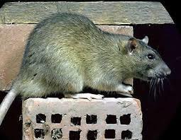 """"""" LA POLITIQUE,C EST DES RATS DANS UN EGOUT ! """" (GEORGES CLEMENCEAU)"""