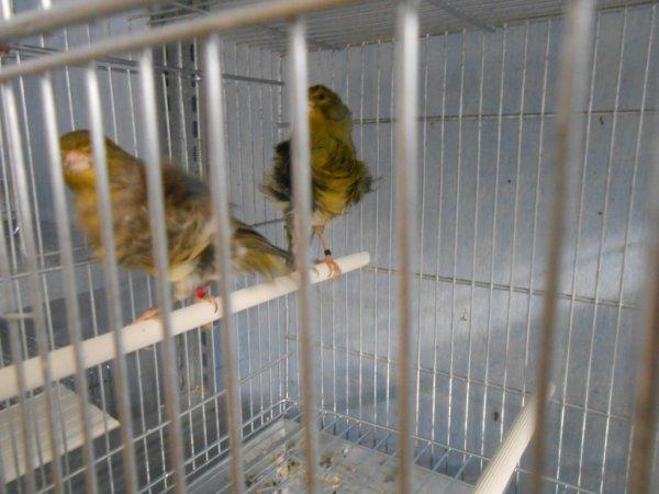second couple frise du nord nid fait 2 oeufs