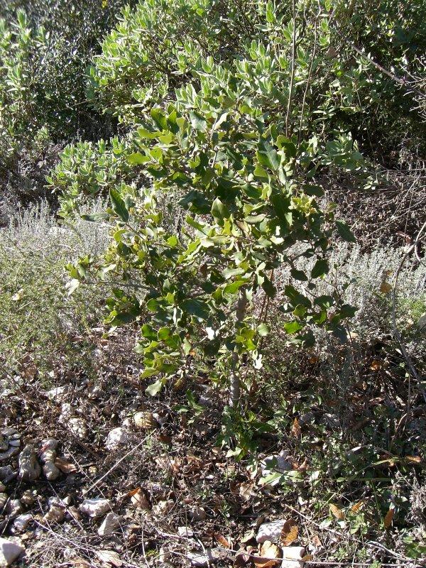 Chêne truffier et brulé