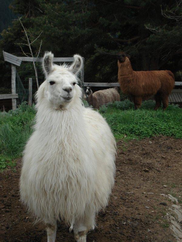 Les Lamas du Miradou