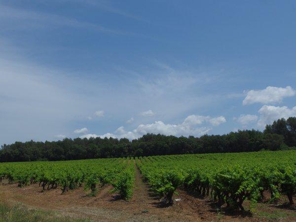 Balade dans les vignes