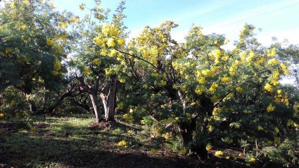 Balade dans les mimosas autour du village