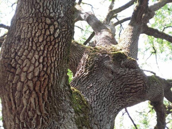 Le chêne Pascaline