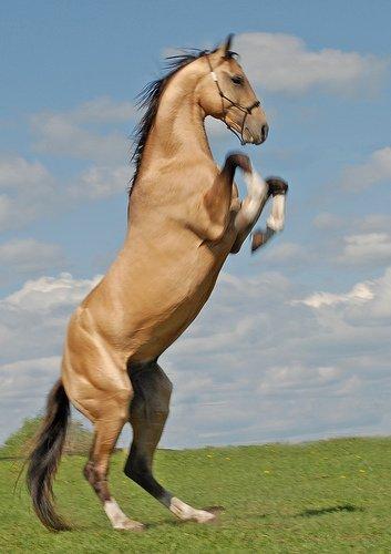 cheval qui cabre