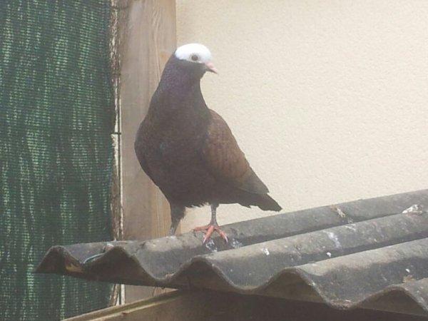 Nws Pigeon tête de moine