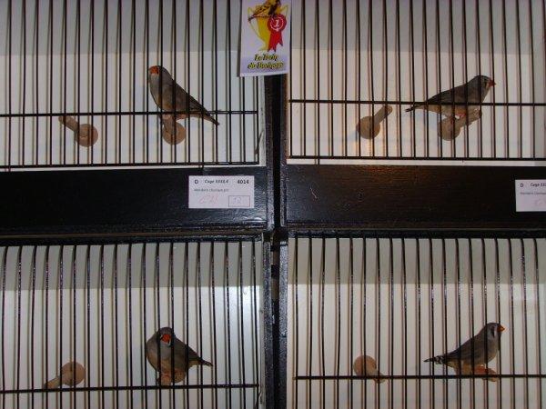 oiseaux champions a l'exposition du tarin du borinage ( boussu bois ) w-k du 23-24 novembre 2013