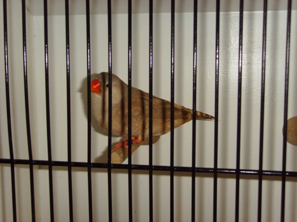 oiseaux championa l expo de tournai w-k 28-29-12-2013