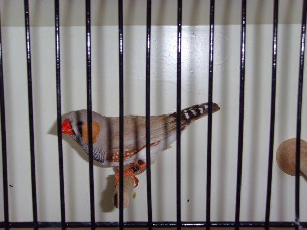 oiseaux champion a l exposition de beloeil (expo du 11 et 12 octobre 2014)