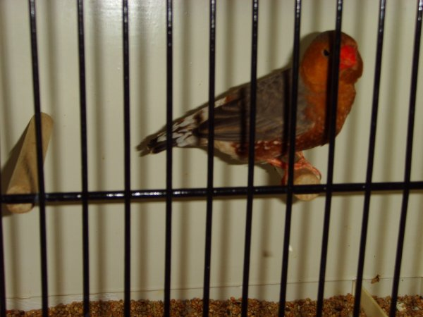 oiseaux champion a l exposition de leuze