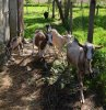 Un petit tour de tous ceux qui habitent à la ferme: les chèvres