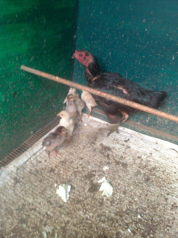 ma poule pur lespéce avec ces poussin