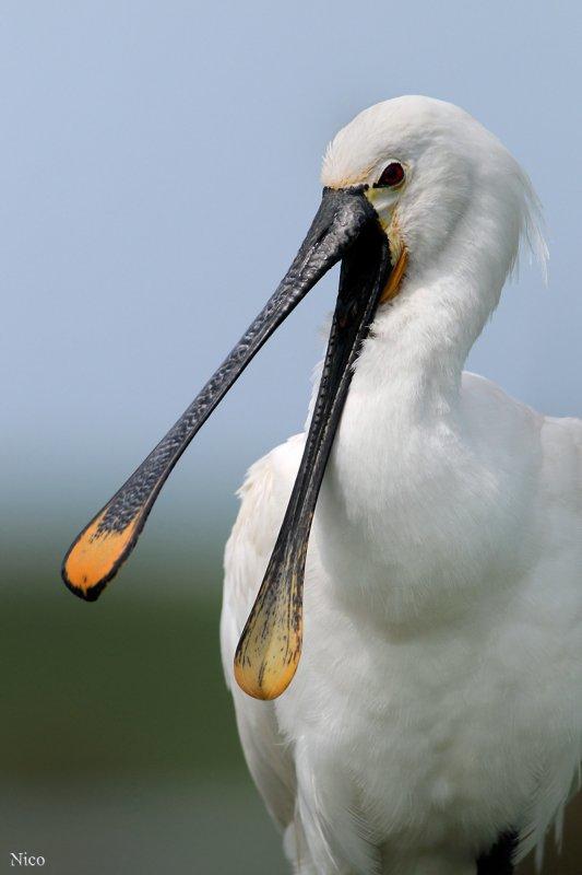 spatule blanche en affut flottant