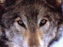 Photo de magnifique-les-loups
