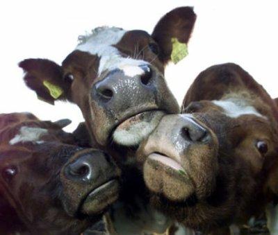 Rsultat de recherche dimages pour trois vaches