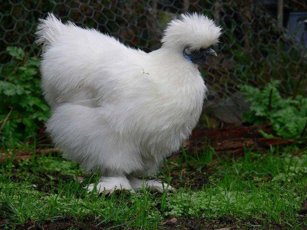 Une poule soie.