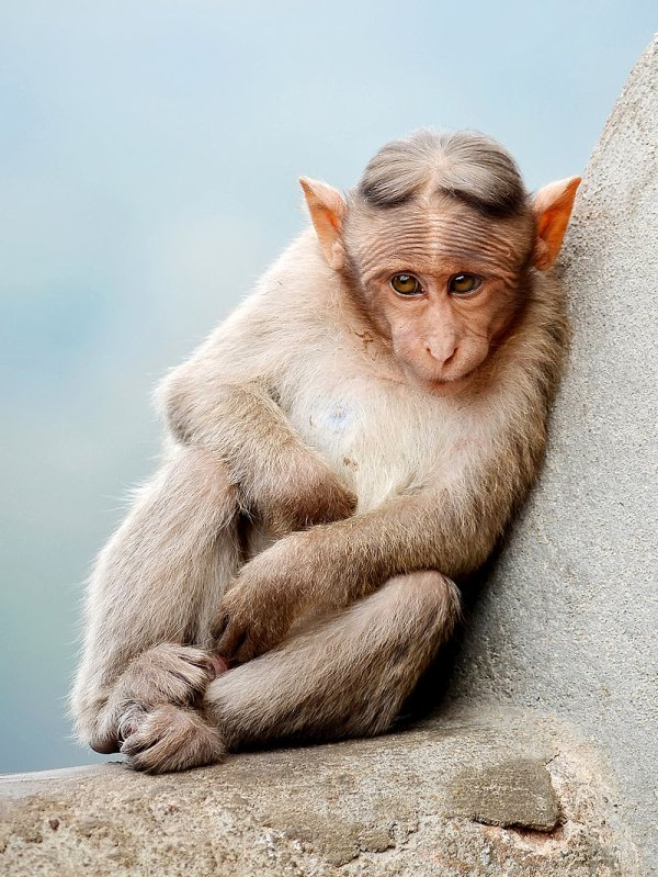 Un macaque à bonnet (Macaca radiata) perché sur un rocher