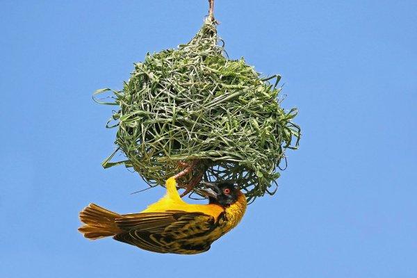 Un tisserin gendarme, passereau afrotropical, en train de construire son nid suspendu.