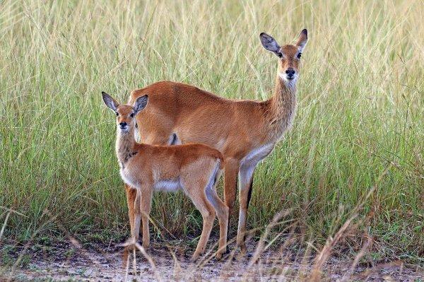 Une femelle de Cobe de Buffon et son petit