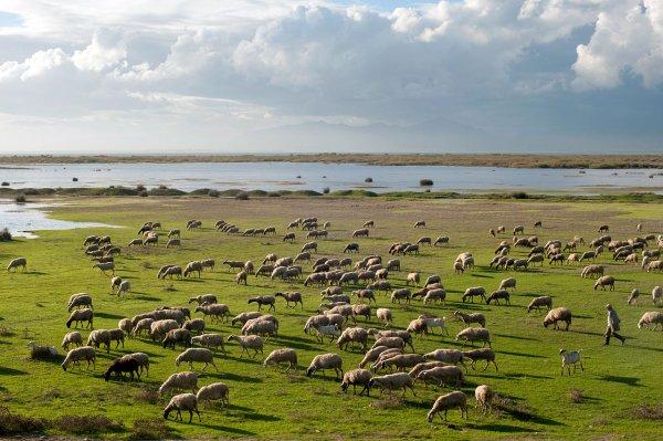 Un troupeau de chèvres et de moutons, mené par son berger (lac Vistonia, Thrace, Grèce)