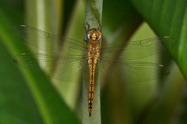 Un pantale globe-trotteur, libellule commune aux capacités de déplacement remarquables