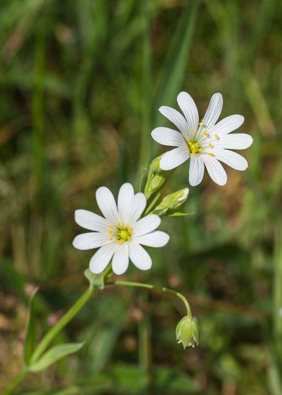Fleurs de stellaire holostée, caryophyllacée acidophile commune des forêts, lisières et talus d'Europe.