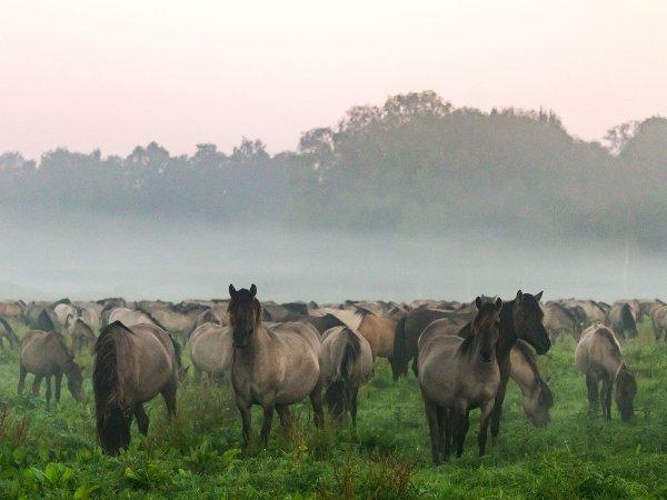 Un troupeau de poneys de Dülmen dans le parc naturel Hohe Mark-Westmünsterland, en Rhénanie-du-Nord-Westphalie
