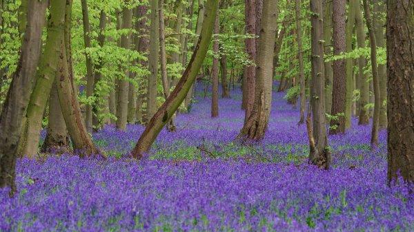 Tapis de jacinthes des bois dans la réserve naturelle anglaise de Pryor's Wood, près de Stevenage.