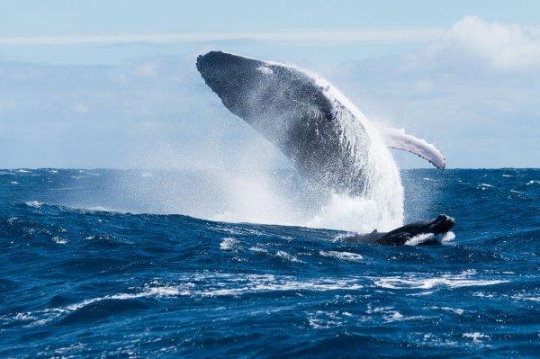 Une baleine à bosse et son baleineau, au large de Tahiti.