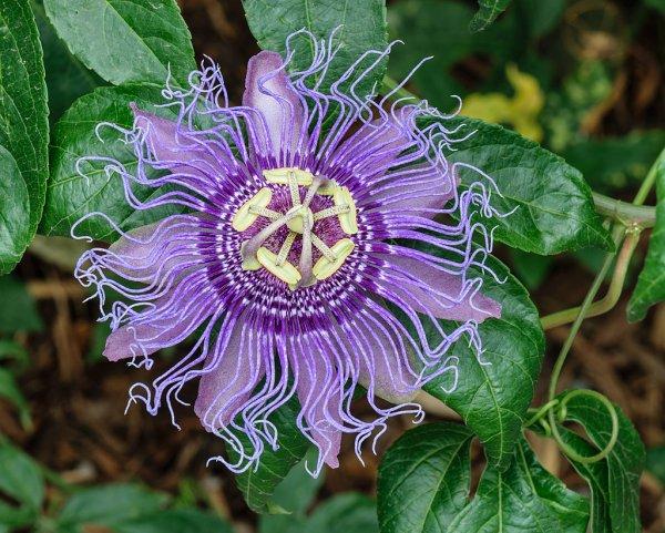 Fleur de passiflore officinale.