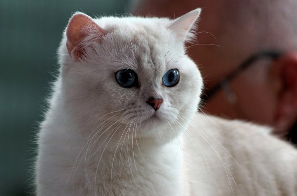 Un british shorthair.