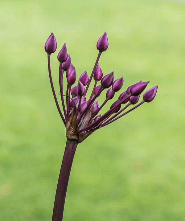 Boutons floraux de jonc fleuri.