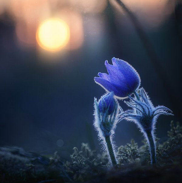 Fleurs d'anémone de prairie