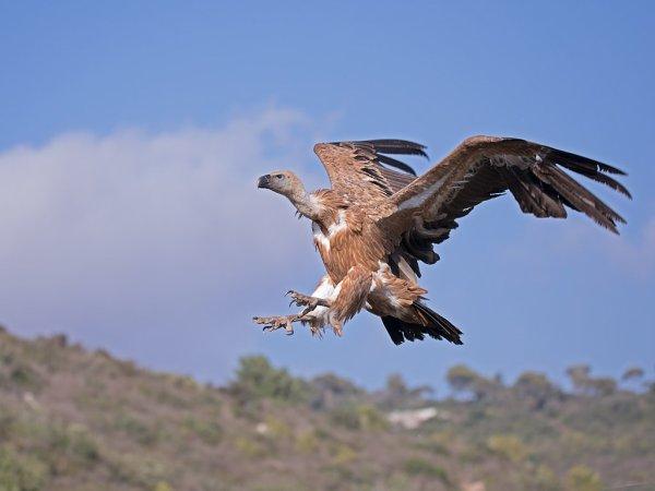 Un vautour fauve en vol.