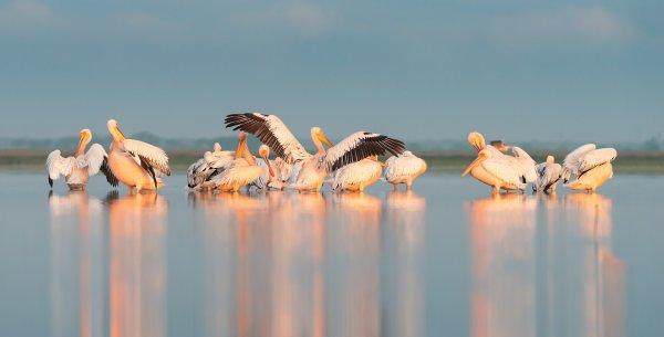 Pélicans blancs dans les eaux des limans de Tuzly, en Bessarabie (Ukraine).