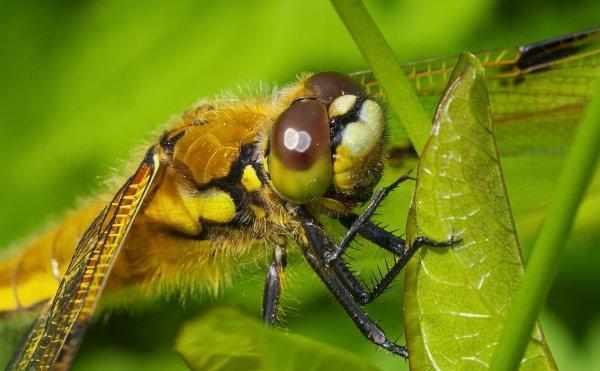 Une libellule à quatre taches