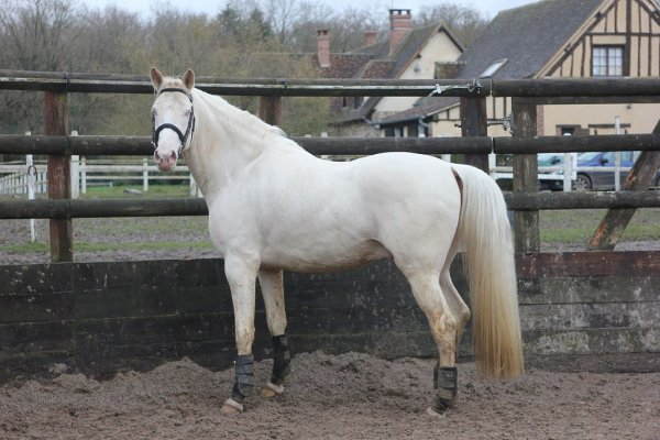 Le cheval crème