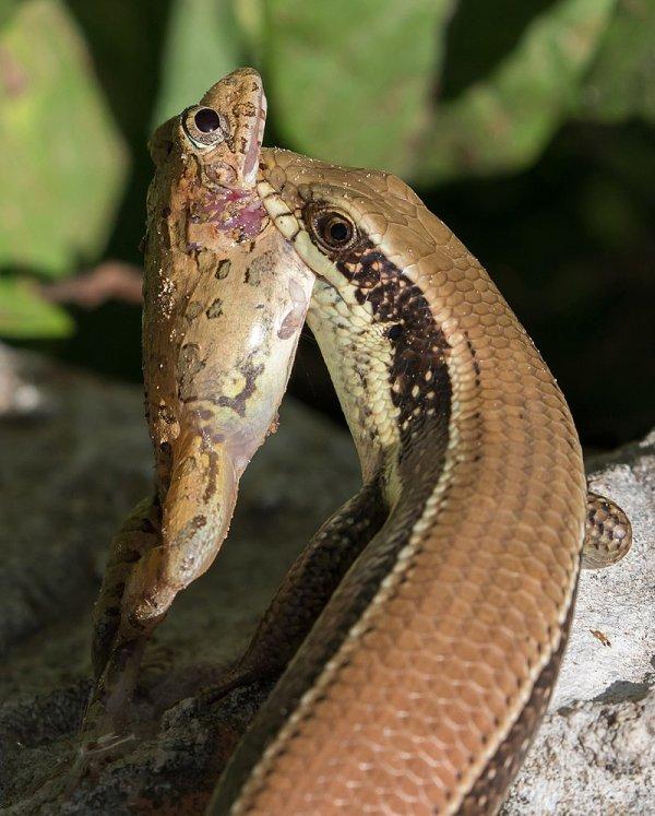 Scinque de l'espèce Eutropis macularia mangeant une grenouille.
