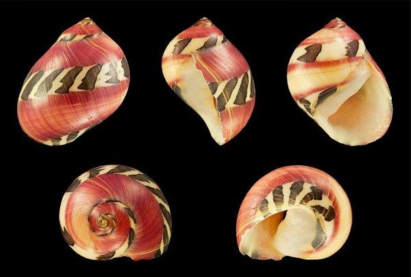 Coquille de Vittina waigiensis.